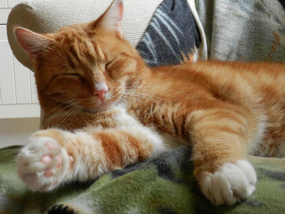 Obesitas bij katten: de oorzaak en voeder oplossing.